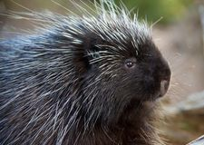Porcupine Close-up Stock Image
