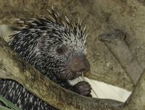 Porcupine. Close up profile portrait of prehensile-tailed porcupine Royalty Free Stock Photography