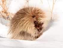 Porcupine closely looking at you Royalty Free Stock Photography