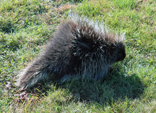 Porcupine in daylight Stock Photography