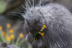 Porcupine on dead log eating yellow flowers and grass in spring Royalty Free Stock Photo