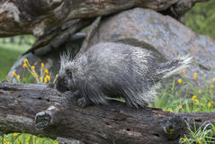 Porcupine on dead log with yellow flowers and grass in spring Stock Image