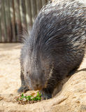 Porcupine Eating Royalty Free Stock Images