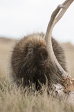 Porcupine eating deer antler in field Royalty Free Stock Image