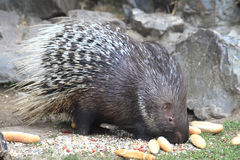 Porcupine is eating rolls Stock Photo