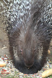 Porcupine is eating rolls Royalty Free Stock Photography