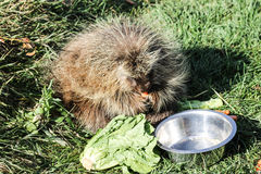 Porcupine eating vegetables Royalty Free Stock Photos