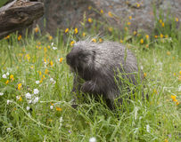 Porcupine  eating yellow and white flowers  in spring Stock Images