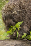 Porcupine Eating Royalty Free Stock Photos
