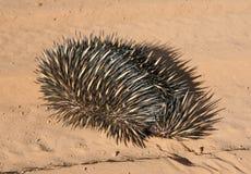 Porcupine (Echidna aculeata) Royalty Free Stock Image
