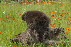 Porcupine (Erethizon dorsatum) With Back to Viewer Stock Photography