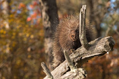 Porcupine (Erethizon dorsatum) Behind Branch Stock Photography