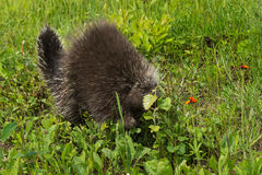 Porcupine (Erethizon dorsatum) Behind Leaf Stock Photo