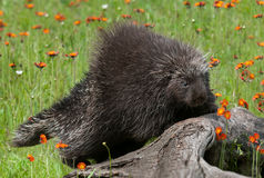 Porcupine (Erethizon dorsatum) Climbs up Log Royalty Free Stock Photography