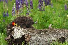 Porcupine Erethizon dorsatum Clings to Side of Log Royalty Free Stock Photography