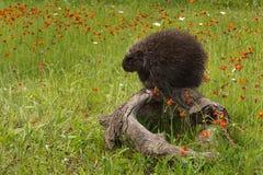 Porcupine (Erethizon dorsatum) Contemplates a Nap Royalty Free Stock Images