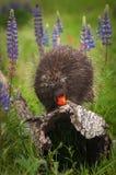 Porcupine Erethizon dorsatum Examines Flower Royalty Free Stock Images