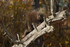 Porcupine (Erethizon dorsatum) Gazes Out from Branch Stock Images