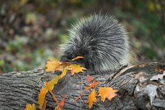 Porcupine Erethizon dorsatum Grabs at Autumn Leaves stock photography