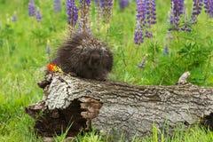Porcupine (Erethizon dorsatum) on Log with Flower Royalty Free Stock Images