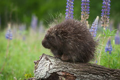 Porcupine Erethizon dorsatum on Log with Lupin Royalty Free Stock Photography