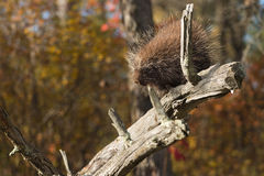 Porcupine (Erethizon dorsatum) Looks Down Branch Royalty Free Stock Image