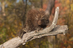 Porcupine (Erethizon dorsatum) Looks Down from Branch Royalty Free Stock Photography