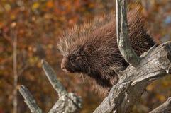 Porcupine (Erethizon dorsatum) Looks Out Royalty Free Stock Photography