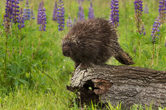 Porcupine (Erethizon dorsatum) Looks Out from Log Stock Photos