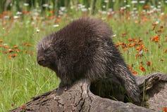 Porcupine (Erethizon dorsatum) Looks Over Shoulder Royalty Free Stock Photos