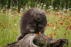 Free Porcupine (Erethizon Dorsatum) Looks Straight Out Royalty Free Stock Photo - 74605735