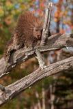 Porcupine (Erethizon dorsatum) Naps High Up on Branch Stock Images