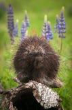 Porcupine Erethizon dorsatum Paw Up on Log Stock Photos