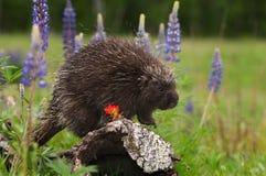 Porcupine (Erethizon dorsatum) Peers Right on Log Royalty Free Stock Images