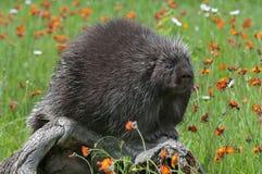 Porcupine (Erethizon dorsatum) Sits on Log Royalty Free Stock Image