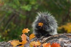 Porcupine Erethizon dorsatum Sits on Log With Leaf stock photography