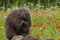 Porcupine (Erethizon dorsatum) Sits with Paws Up Royalty Free Stock Image