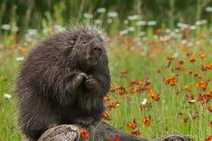 Free Porcupine (Erethizon Dorsatum) Sits With Paws Up Royalty Free Stock Image - 69851096