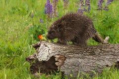 Porcupine (Erethizon dorsatum) Sniffs at Flower Stock Photos