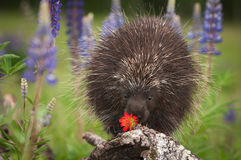 Porcupine Erethizon dorsatum Sniffs at Flower Stock Photos