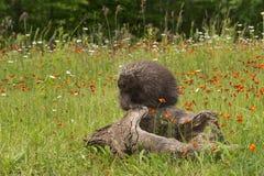 Porcupine (Erethizon dorsatum) Snoozes Atop Log Stock Images