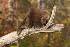 Porcupine (Erethizon dorsatum) Snoozes on Branch Royalty Free Stock Photo