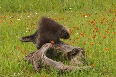 Porcupine (Erethizon dorsatum) Standing on Log Stock Photos