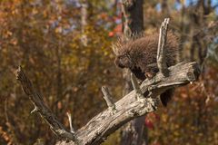 Porcupine (Erethizon dorsatum) Stands on Branch Stock Images