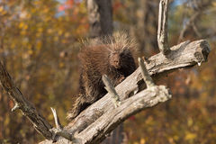 Porcupine (Erethizon dorsatum) Turns Left Royalty Free Stock Images