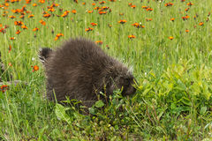 Porcupine (Erethizon dorsatum) Walks into Weeds Royalty Free Stock Photography