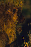 Porcupine Face Portrait Royalty Free Stock Photo
