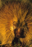 Porcupine Face Portrait. Cute close up portrait of a porcupine in great light Royalty Free Stock Photos