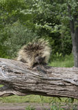 Porcupine on a Fallen Tree Trunk Royalty Free Stock Photo