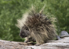 Porcupine on a Fallen Tree Trunk Royalty Free Stock Photos
